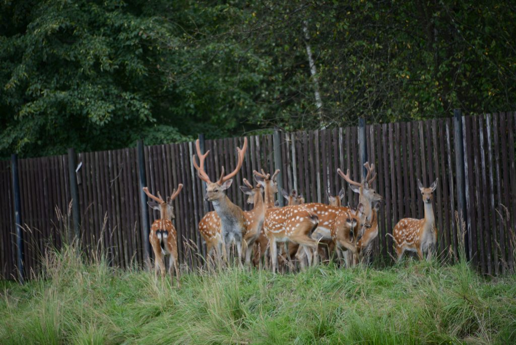 Elk Island - Deer